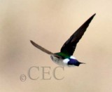 Violet-Green Swallow_EZ53469 copy.jpg