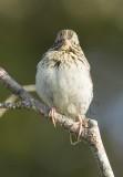 Savannah Sparrow, juvenile, pink feet, forked tail, central spot weak, yellow eyebrow stripe absent  _EZ76414 copy.jpg