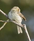 Savannah Sparrow, juvenile, pink feet, forked tail, central spot weak, yellow eyebrow stripe absent  _EZ76418 copy.jpg