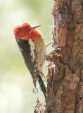 Red Breasted Sapsucker hybrid, Little Naches River 2014-6-4  _EZ82894 copy.jpg