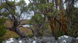 Cradle Mountain Gums