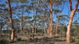 West Australian Salmon Gums