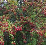 Wanaka Berries