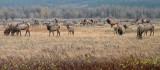 Waterton Elk