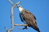 Peel Osprey