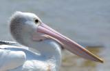 Pelican Head close-up