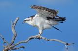 Mandurah Osprey