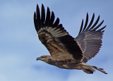 A juvenile White-Bellied Sea Eagle