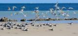 Coral Bay Terns