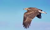 Juvenile White-bellied Sea Eagle