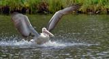 Pelican splashdown!