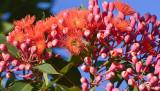 Red Flowering Gum (Eucalyptus Ficifolia)
