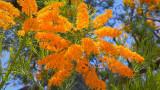 Nuytsia Floribunda - Western Australia's 'Xmas Tree'!!