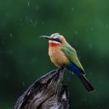 Birds Namibia & Botswana 2014
