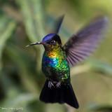 Kolibries Hummingbirds