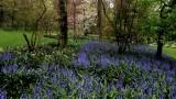 Bluebells blooming at Jardins de Valloires