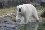 Polar Bears Eisbären
