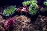 Ouriço-vermelho e Anémona-verde-gigante