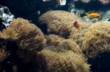 Coral-bolha