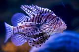 Peixe-dragão-leão