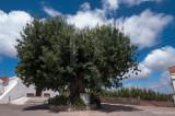 O Freixo de Azambujeira dos Carros (Árvore de Interesse Público)