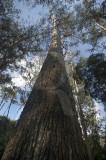 Os Eucaliptos da Mata Nacional de Leiria