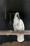 Catatua-branca