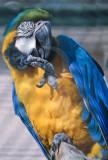 Arara-azul-e-amarela