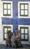 Babuíno-hamadrias