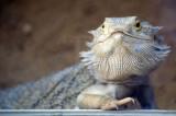 Dragão-barbudo