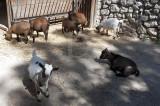Cabra-anã