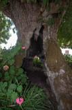 Fraxinus angustifolia Vahl (AIP)