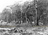 1910's - workers clearing every mangrove tree from Miami Beach
