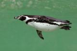 Manchot du Cap, African Penguin (Spheniscus demersus)