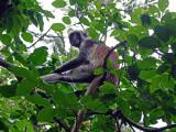 Red Colobus Monkey, Jozani Forest, Zanzibar, Tanzania.