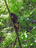 Black Lemurs, Nosy Tankikely, Madagascar.