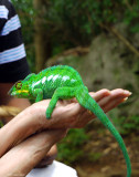 Chameleon, Nosy Komba, Madagascar.