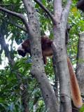 Red Lemur, Nosy Komba, Madagascar.