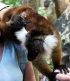 Red Lemur with baby, Nosy Komba, Madagascar.