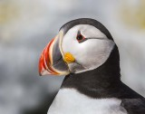 Puffin portrait.jpg