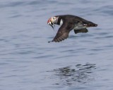 Puffin flying with fish 2.jpg
