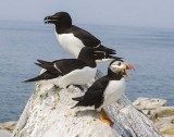 Razorbills and puffin on rock.jpg
