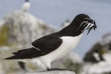 Razorbill with fish.jpg