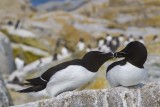 Razorbills kissing.jpg