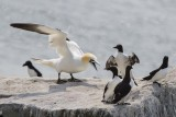 Gannet yells at murres.jpg