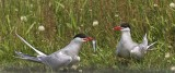 Artic Tern pair.jpg