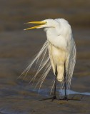 Great Egret at sunrise with mouth open.jpg