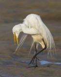 Great Egret turning at sunrise.jpg