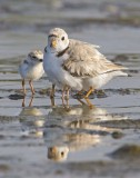 Piping Plover with babies and reflection.jpg