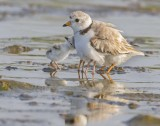 Piping Plover with babies and reflection 2.jpg